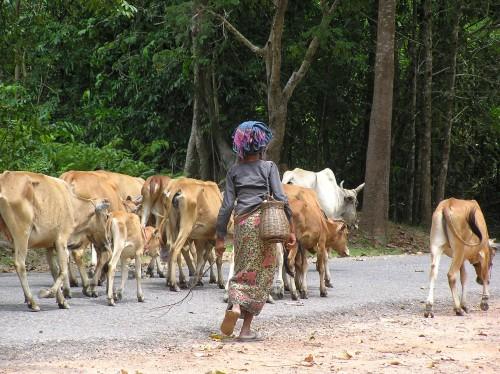 Cowherd-in-Cambodia-pic-Natasha-von-Geldern