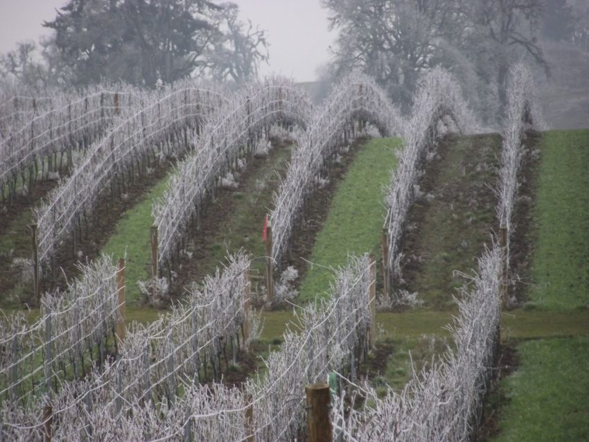 Country Mouse Visits the City for Christmas and sees Front yard frosty vines