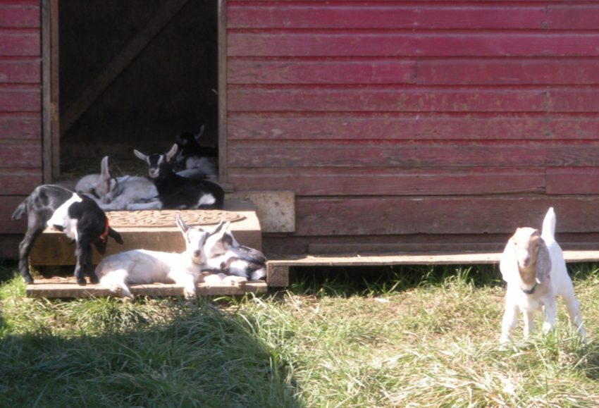 Living the American Dream on a Vineyard: 3-week old baby goats
