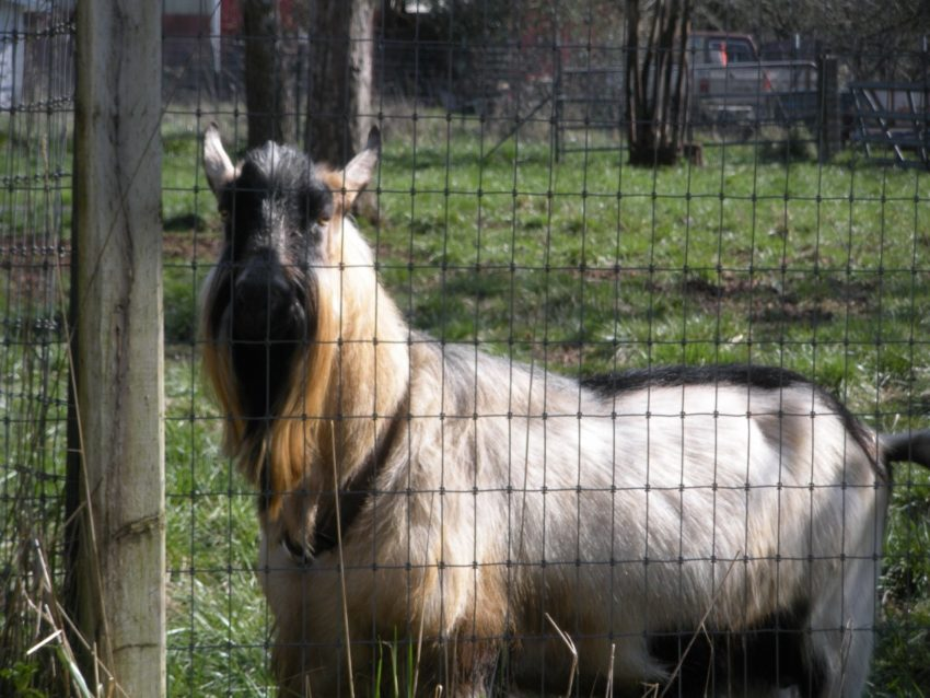 Living the American Dream on a Vineyard: the male goat Zeus