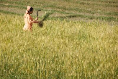 Harvest-time-in-Himchal-Pradesh-India