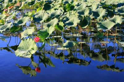 Kakadu National Park waterlilies (pic: Natasha von Geldern)