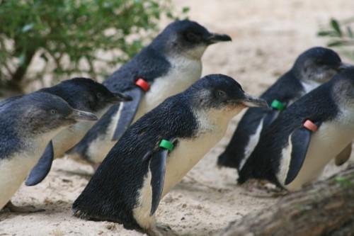 Melbourne Zoo Little Penguins, Australia (pic - Natasha von Geldern)