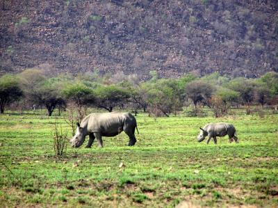 Rhino Africa Destinations: Rhino mom and cub in Pilanesberg South Africa by Natasha von Geldern World Wandering Kiwi