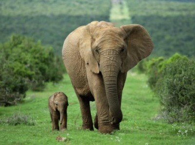 Top Travel Photos: Mother and Calf African Elephant by Ann & Steve Toon - Buy at Art.com