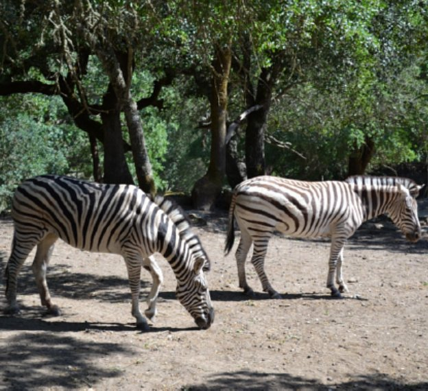 African Zebras on Wild American Dream Family Vacation