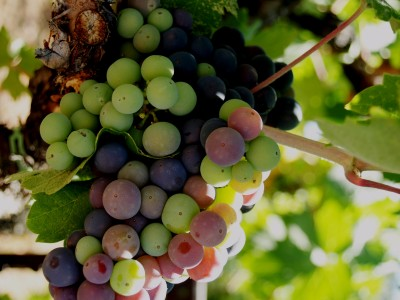 Dream Images Inspired by California Wine Country: Fall Grapes of Northern California