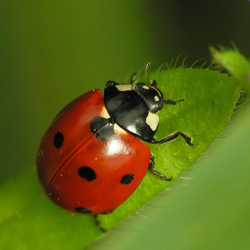 The Day A Coccinellidae Sent Me A Text Message