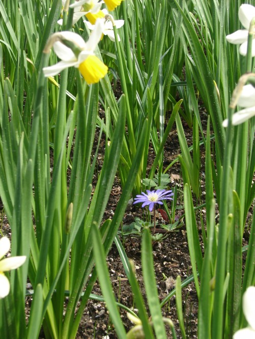 Our Mentors: Flower among daffodils