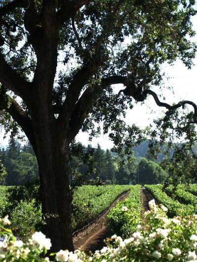 Kenwood Winery Vineyards