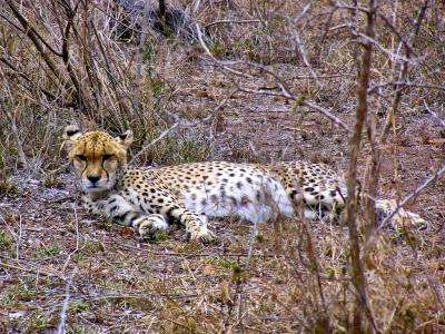 Rhino Africa Destinations: Cheetah in-Hlane Park in Swaziland by Natasha vonGeldern of World Wandering Kiwi