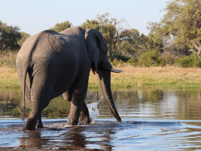 Rhino Africa Destination: Elephant in the wild in Botswana Africa