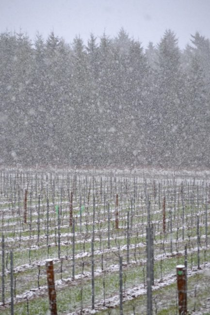 Living at a Vineyard in Willamette Valley: Spring snow