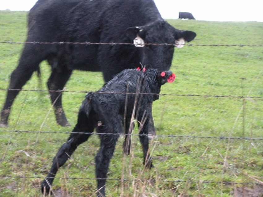 Living at a Vineyard in Willamette Valley: Spring baby cows