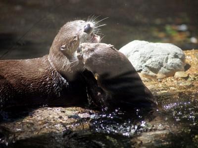 San Francisco Zoo photos: Otters Kissing