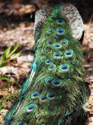 San Francisco Zoo photos: Peacock