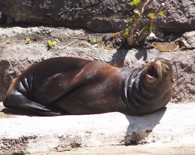 San Francisco Zoo photos: A Sunbathing Sea lion