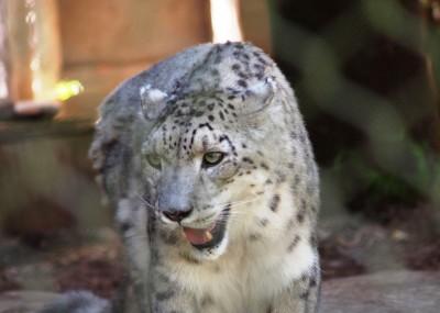 San Francisco Zoo photos: Rare Snow Leapord