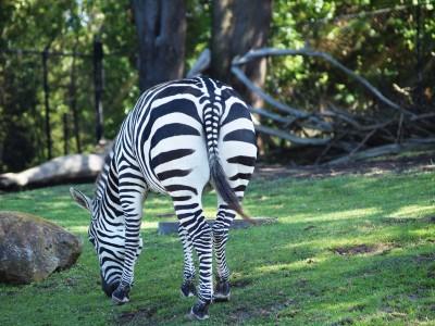 San Francisco Zoo photos: Zebra